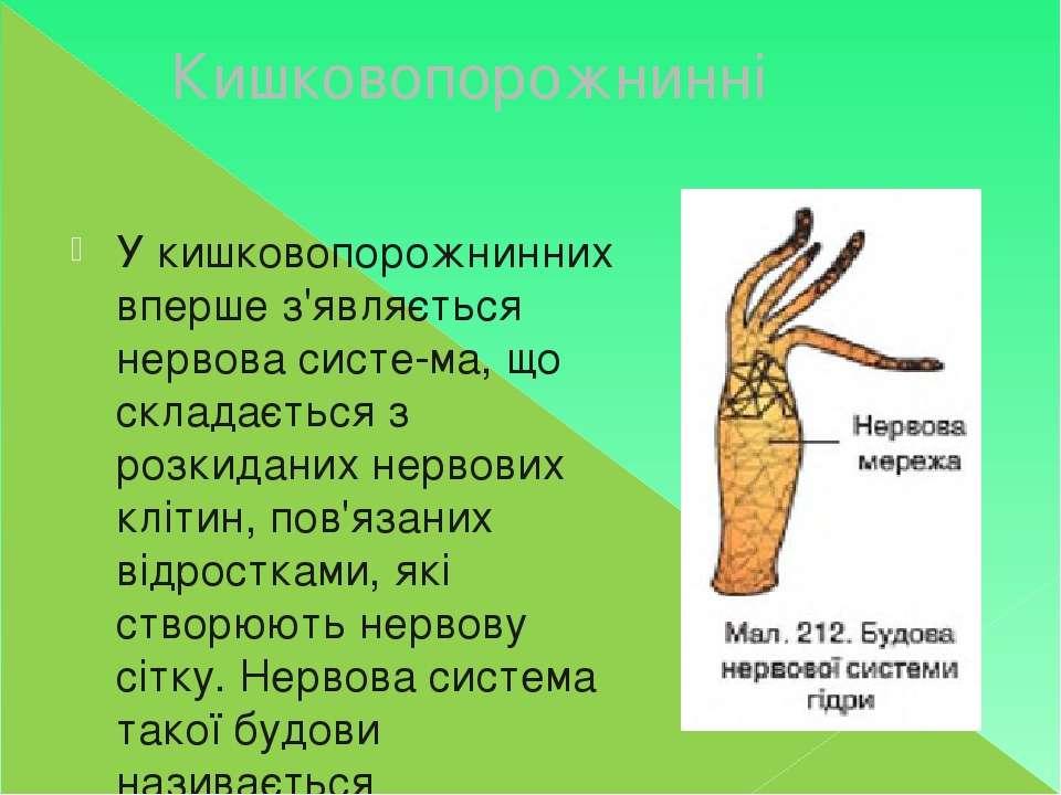 Кишковопорожнинні У кишковопорожнинних вперше з'являється нервова систе ма, щ...