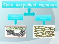 Типи покривної тканини Шкірка (епідерма) Корок