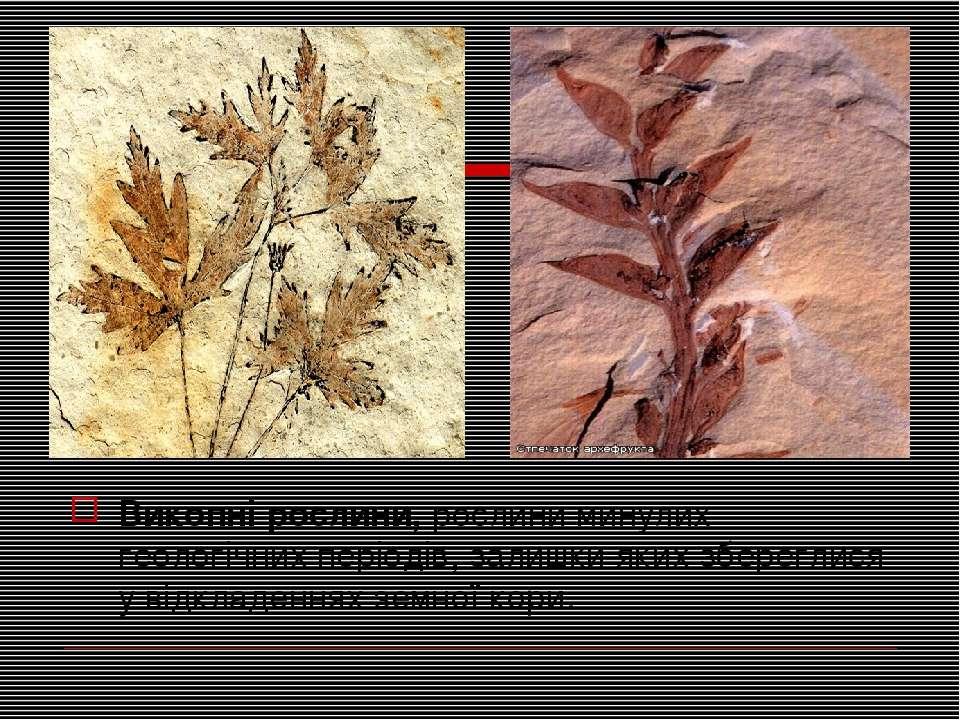 Викопні рослини,рослини минулих геологічних періодів, залишки яких збереглис...