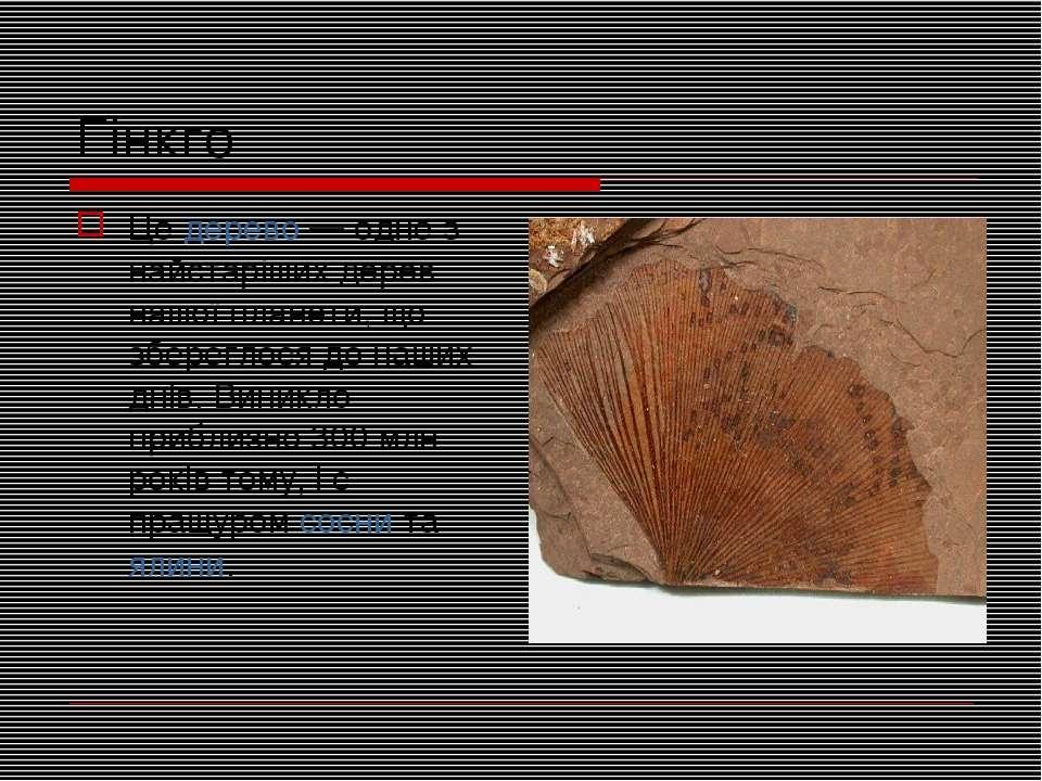 Гінкго Цедерево— одне з найстаріших дерев нашої планети, що збереглося до н...