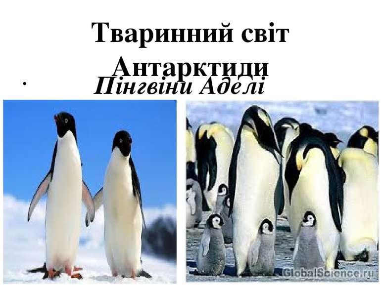 Тваринний світ Антарктиди Пінгвіни Аделі