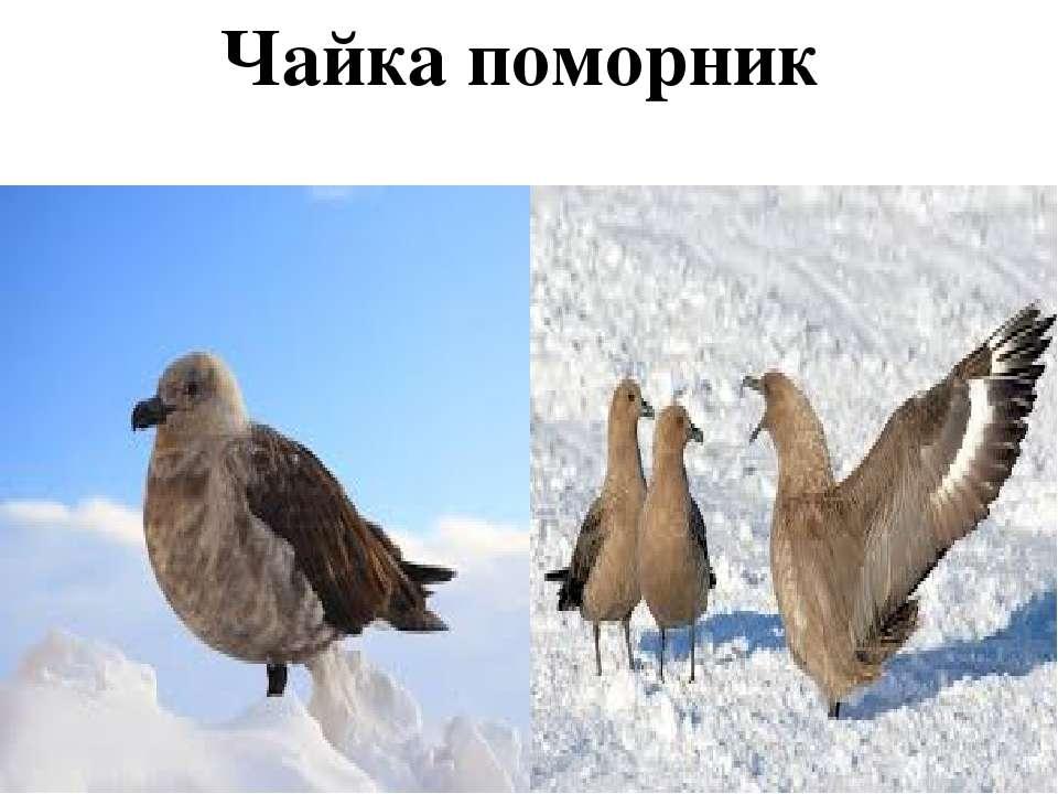 Чайка поморник