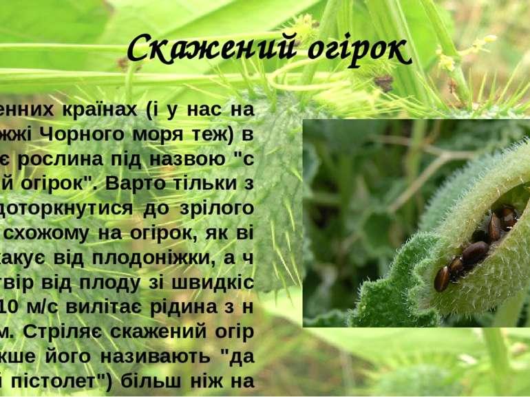 Скажений огірок У південних країнах (і у нас на узбережжі Чорного моря теж) в...