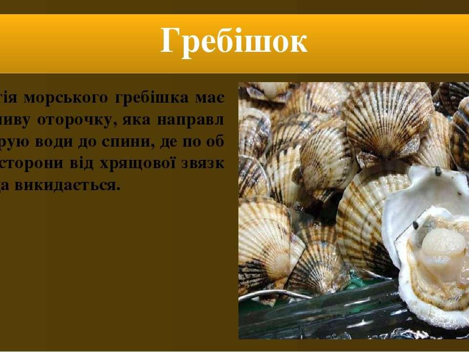 Гребішок Мантія морського гребішка має особливу оторочку, яка направляє струю...