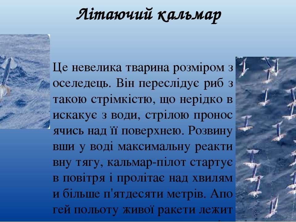 Літаючий кальмар Це невелика тварина розміром з оселедець. Він переслідує риб...