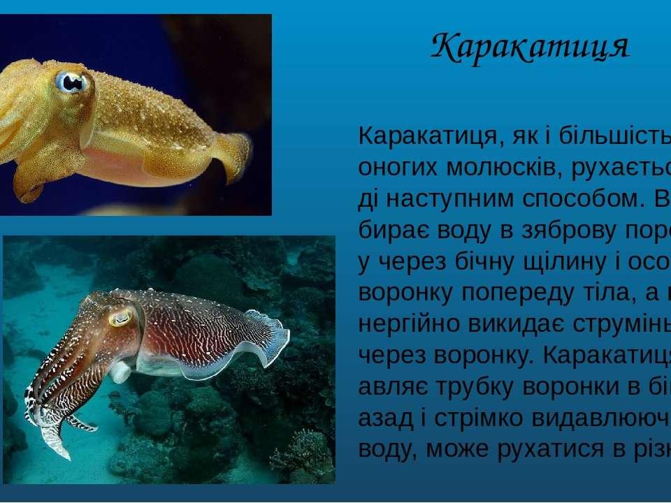Каракатиця Каракатиця, як і більшість головоногих молюсків, рухається у воді ...