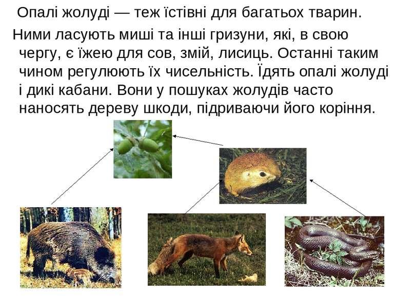 Опалі жолуді — теж їстівні для багатьох тварин. Ними ласують миші та інші гри...