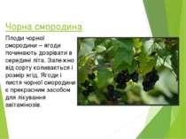 Чорна смородина Плоди чорної смородини – ягоди починають дозрівати в середині...