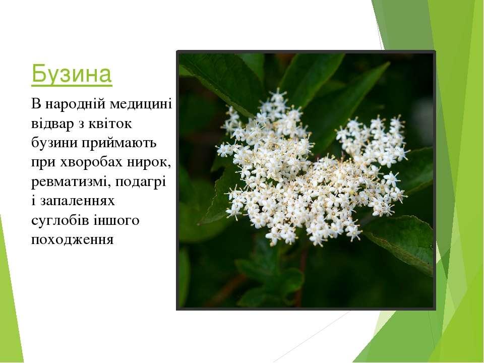Бузина В народній медицині відвар з квіток бузини приймають при хворобах ниро...
