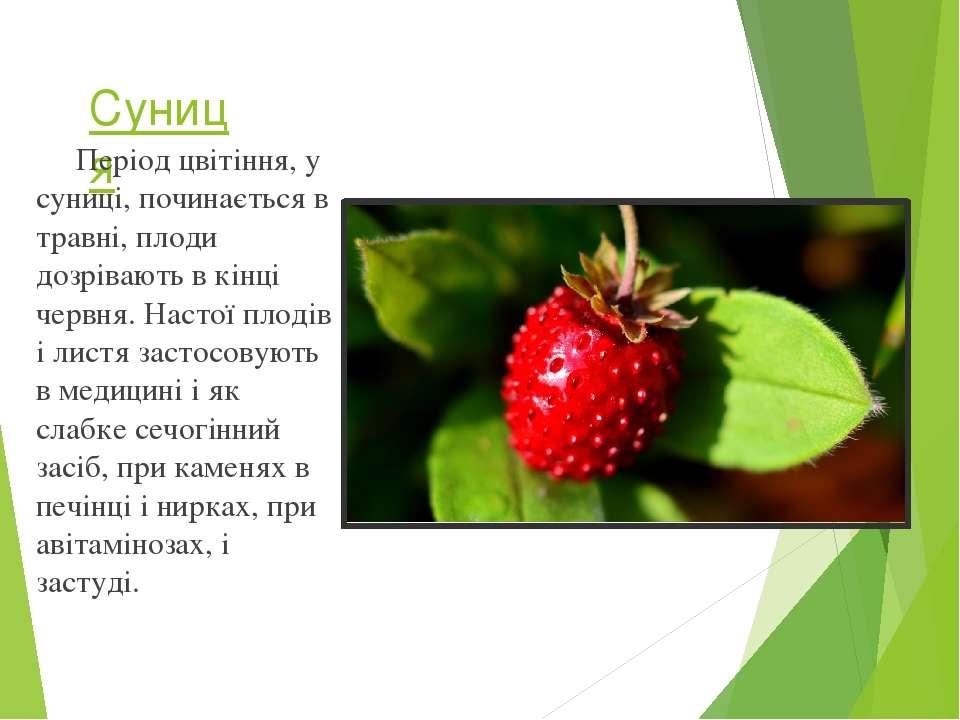 Суниця Період цвітіння, у суниці, починається в травні, плоди дозрівають в кі...