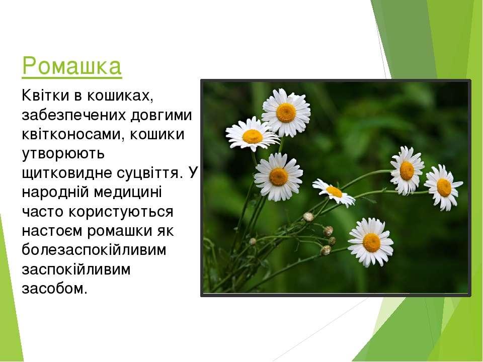 Ромашка Квітки в кошиках, забезпечених довгими квітконосами, кошики утворюють...