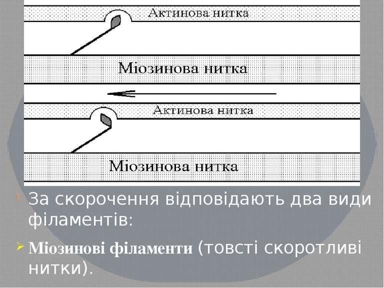 За скорочення відповідають два види філаментів: Міозинові філаменти (товсті с...