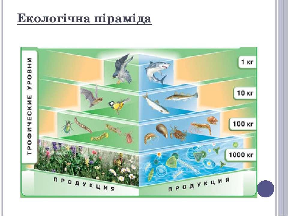 Екологічна піраміда