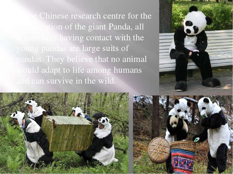 In the Chinese research centre for the conservation of the giant Panda, all r...
