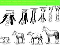 Якщо п'ятипалу кінцівку коня ,вік якої оцінюється в 100 млн.років ,порівняти ...