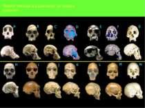 Черепа гомінідів від шимпанзе до людини розумної