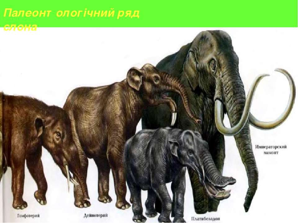 Палеонтологічний ряд слона