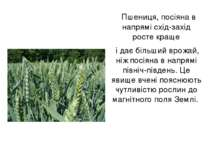 Пшениця, посіяна в напрямі схід-захід росте краще і дає більший врожай, ніж п...