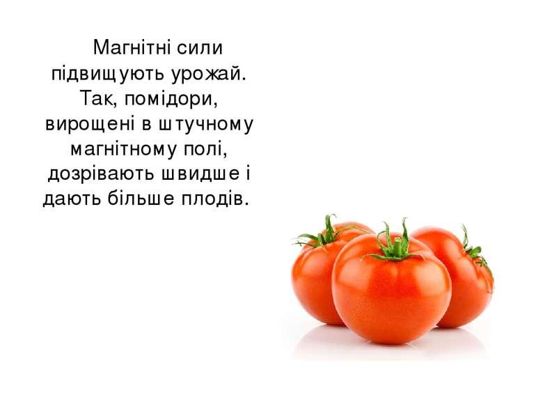 Магнітні сили підвищують урожай. Так, помідори, вирощені в штучному магнітном...