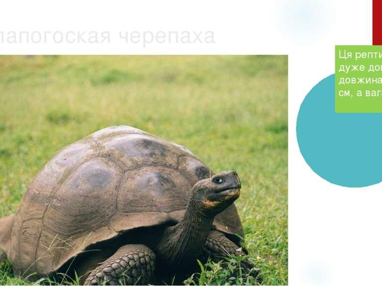 Галапогоская черепаха Ця рептилії живе дуже довго. Їхня довжина — 150 см, а в...