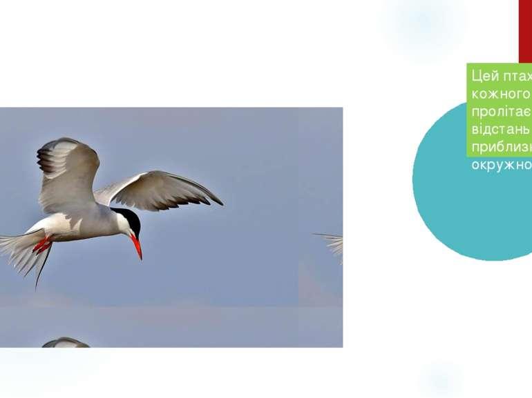 Полярна крячка Цей птах кожного року пролітає відстань, яка приблизно рівна о...