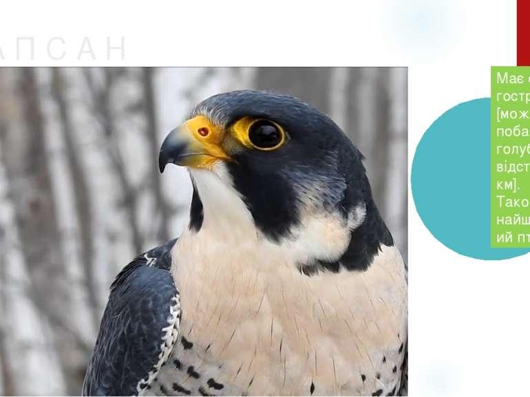С А П С А Н Має самий гострий зір [може побачити голуба на відстані 8 км]. Та...