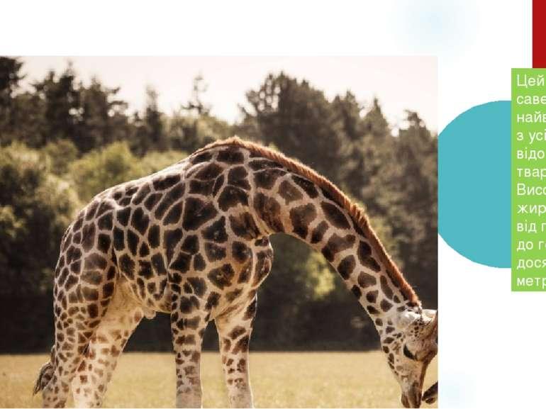 Ж И Р А Ф Цей савець - найвищий з усіх нині відомих тварин. Висота жирафа від...