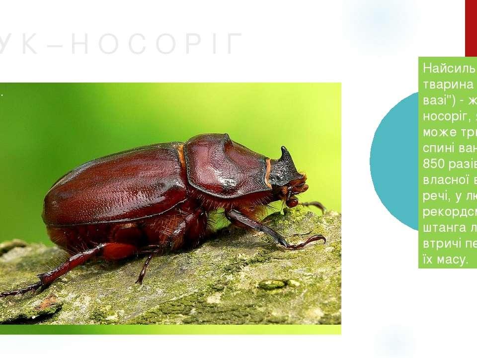 """Ж У К – Н О С О Р І Г Найсильніша тварина (в """"легкій вазі"""") - жук-носоріг, як..."""