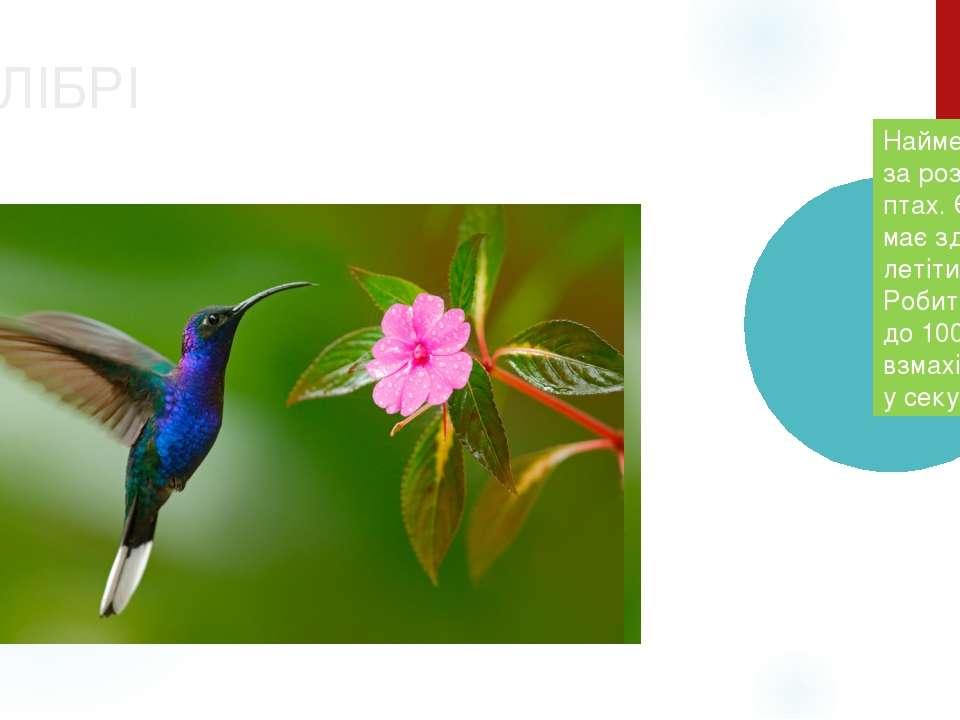 КОЛІБРІ Найменший за розмірами птах. Єдина має здатність летіти назад. Робить...