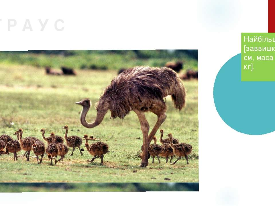 С Т Р А У С Найбільший птах [заввишки 2м 70 см, маса тіла 90 кг]. .