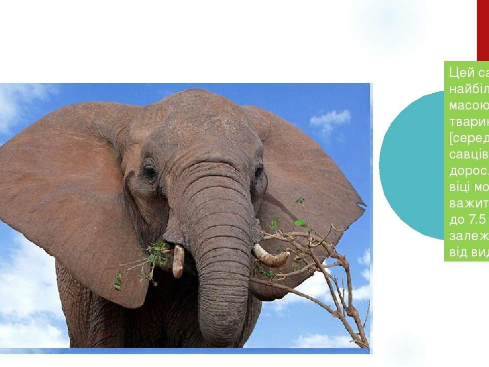 Цей савець – найбільша за масою тіла тварина [серед савців], у дорослому віці...