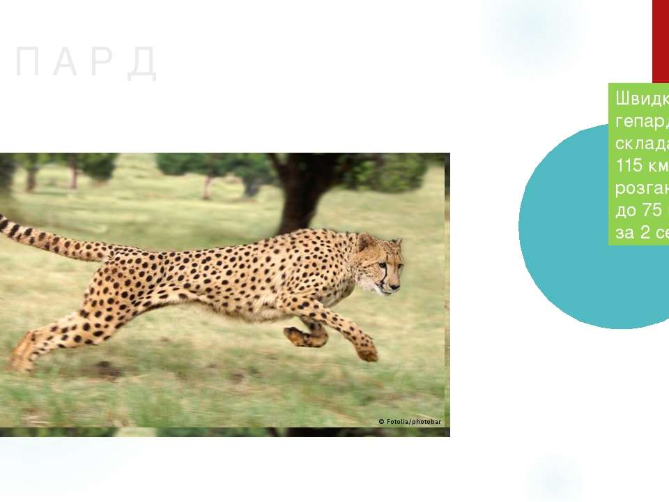 Г Е П А Р Д Швидкість гепарда складає 110-115 км/год, розганяється до 75 км/г...