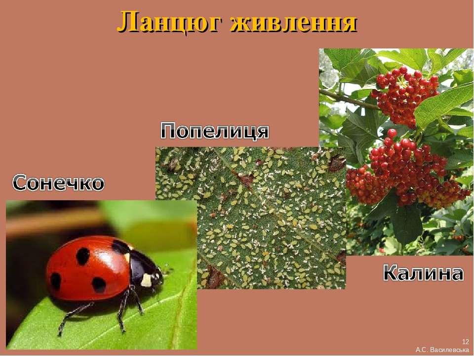 Ланцюг живлення 12 А.С. Василевська
