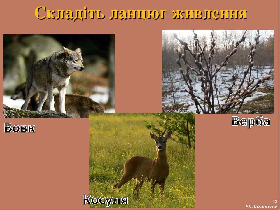 Складіть ланцюг живлення 13 А.С. Василевська