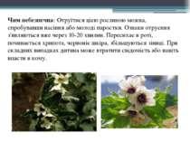Чим небезпечна: Отруїтися цією рослиною можна, спробувавши насіння або молоді...