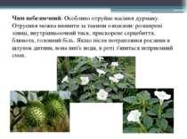 Чим небезпечний: Особливо отруйне насіння дурману. Отруєння можна виявити за ...