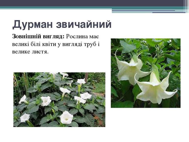 Дурман звичайний Зовнішній вигляд:Рослина має великі білі квіти у вигляді тр...