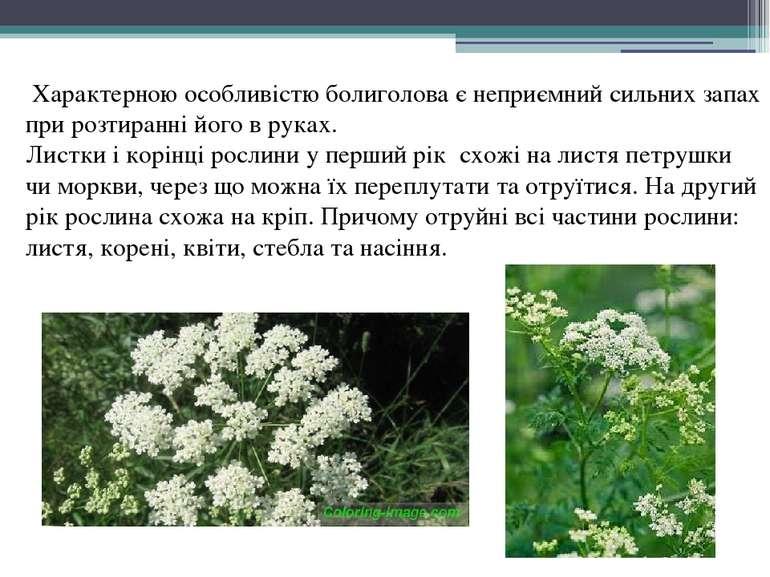 Характерною особливістю болиголова є неприємний сильних запах при розтиранні ...