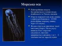Морська оса Найотруйніша медуза. Зустрічається в теплих водах індійського та ...