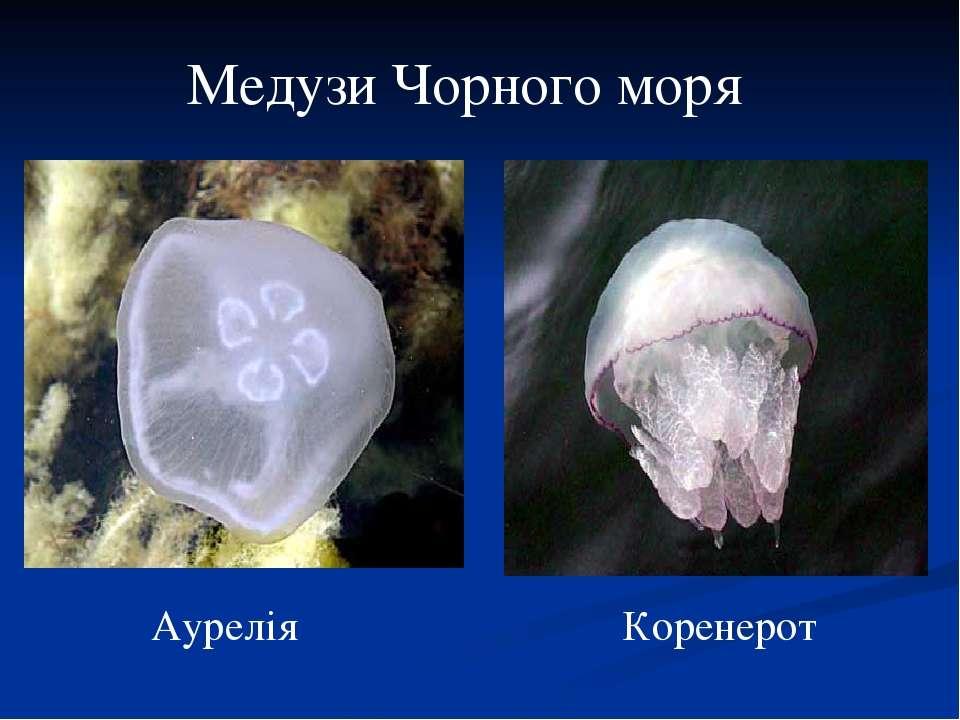 Медузи Чорного моря Аурелія Коренерот
