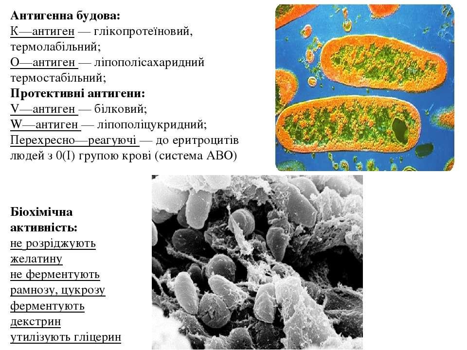 Антигенна будова: К—антиген — глікопротеїновий, термолабільний; О—антиген — л...