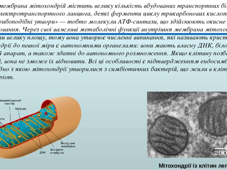 Внутрішня мембрана мітохондрій містить велику кількість вбудованих транспортн...