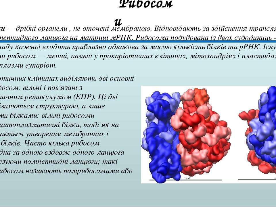 Рибосоми — дрібні органели , не оточені мембраною. Відповідають за здійснення...