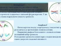 Метафаза-І Число бівалентів удвічі менше від диплоїдного набору хромосом. Бів...