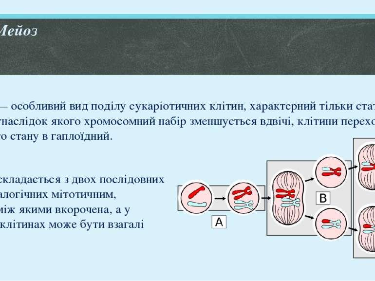 Мейоз Мейоз— особливий вид поділу еукаріотичних клітин, характерний тільки ст...
