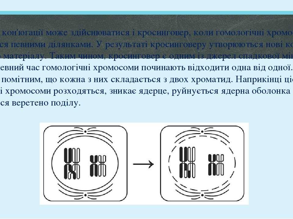 Під час кон'югації може здійснюватися і кросинговер, коли гомологічні хромосо...