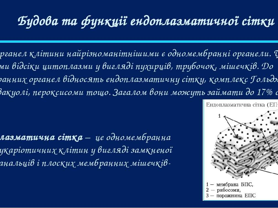 Будова та функції ендоплазматичної сітки Серед органел клітини найрізноманітн...