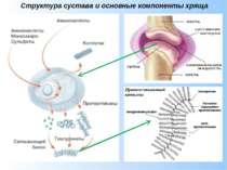 Структура сустава и основные компоненты хряща