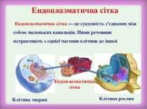 Ендоплазматична сітка Клітина тварин Клітина рослин Ендоплазматична сітка — ц...