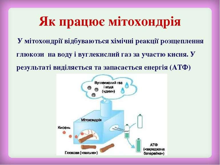 Як працює мітохондрія У мітохондрії відбуваються хімічні реакції розщеплення ...